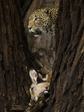 African Leopard (Panthera Pardus) with its Antelope Kill in a Tree, Masai Mara, Kenya Photographic Print by Joe McDonald