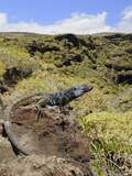 Male Tenerife Lizard (Gallotia Galloti) Basking, Endemic, Tenerife, Canary Islands Photographic Print by Fabio Pupin