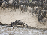 Wildebeests or Gnus Jumping into the Mara River to Cross During Migration Photographic Print by Arthur Morris