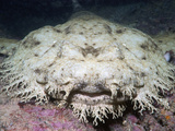 Head of a Tasseled Wobbegong (Eucrossorhinus Dasypogon) Photographic Print by Andy Murch