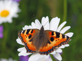 Small Tortoiseshell (Aglais Urticae) Perched on Flower, Estonia, Europe Photographic Print by Heiti Paves