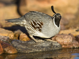 Gambel's Quail Drinking at a Desert Waterhole (Callipepla Gambelii), Southwestern USA Photographie par Joe McDonald