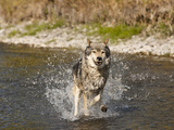 Gray Wolf (Canis Lupus) Running Through Water, Montana, USA Photographic Print by Joe McDonald