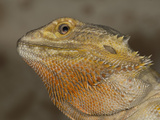 Eastern Bearded Dragon (Pogona Barbata) Will Display the Bright Orange Scales Photographic Print by Jeffrey Miller