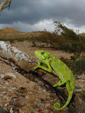 A Female Chameleon (Chamaeleo Monachus), Socotra, Yemen Photographic Print by Fabio Pupin