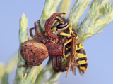 Crab Spider Eating a Yellow Jacket Photographic Print by Mark Plonsky