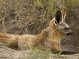 Bat-Eared Fox Sitting at Den Entrance (Otocyon Megalotis), Masai Mara, Kenya Photographic Print by Mary Ann McDonald