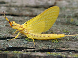 Adult Mayfly (Hexagenia), Kansas, USA Photographic Print by Alex Wild