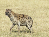 Spotted Hyena (Crocuta Crocuta) Masai Mara Game Reserve Photographic Print by Joe McDonald