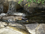 Platypus (Ornithorhynchus Anatinus) Swimming in a Stream, Tasmania, Australia Photographic Print by Dave Watts