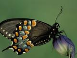 Spicebush Swallowtail Butterfly (Papilio Troilus), Family Papilionidae, Ohio, USA Photographic Print by Leroy Simon