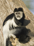 Black and White Colobus Monkey (Colobus Guereza) Perched in a Tree, Masai Mara, Kenya Photographic Print by Joe McDonald