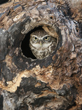 Little Owl in a Hole in a Hollow Tree (Athene Noctua), Europe Photographic Print by Louise Murray