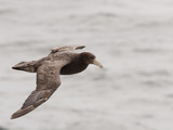 Southern Giant Petrel in Flight (Macronectes Giganteus), Falkland Islands Photographie par Mary Ann McDonald