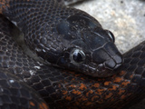 Head of a Dark-Patterned Gray-Banded Kingsnake (Lampropeltis Alterna), Terrell County, Texas, USA Photographic Print by Gerold & Cynthia Merker