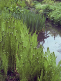 Waterside Foliage, Iris and Ferns, Minterne Gardens, Dorset Photographic Print by Phillip Smith