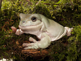 White's or Green Treefrog (Litoria Caerulea), Australia, Captivity Photographic Print by Joe McDonald