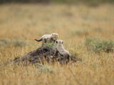 Cheetah Cubs Playing (Acinonyx Jubatus), Masai Mara, Kenya Photographic Print by Mary Ann McDonald