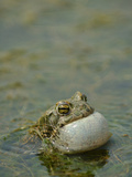 A Male European Green Toad (Bufo Viridis) Vocalizing in a Pond, Europe Photographic Print by Fabio Pupin