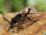 Leaf Lizard (Stenocercus), Allpahuayo Mishana National Reserve, Iquitos, Peru Photographic Print by Thomas Marent