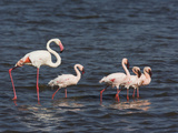 Greater Flamingo, Phoenicopterus Ruber, and Four Lesser Flamingos Photographic Print by Fritz Polking