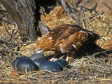 Black-Breasted Buzzard (Hamirostra Melanosternon) Drinking from Emu Egg Photographic Print by Dave Watts