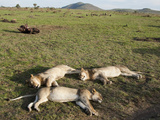 African Lions (Panthera Leo) Sleeping in a Group in the Masai Mara Game Reserve, Kenya Photographic Print by Joe McDonald