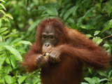 Borneo Orangutan Eating (Pongo Pygmaeus), Camp Leaky, Tanjung Puting National Park, Kalimantan Photographic Print by Thomas Marent