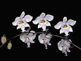 Schiller's Phalaenopsis (Phalaenopsis Schilleriana) Photographic Print by Jeffrey Miller