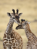 Masai Giraffe (Giraffa Camelopardalis Tippelskirchi) Mother and Baby Nuzzling, Masai Mara, Kenya Photographic Print by Mary Ann McDonald