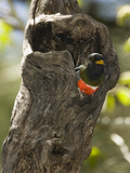 Elegant Trogon Looking from its Nest Hole in a Tree Trunk (Trogon Elegans), Arizona, USA Photographic Print by Mary Ann McDonald