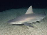 Sandbar Shark (Carcharhinus Plumbeus), a Wide Ranging Species in Tropical and Subtropical Seas Photographic Print by Andy Murch
