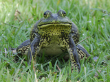 North American Bullfrog (Rana Catesbeiana), Reserva Natural Laguna De Sonso, Department Cauca Photographic Print by Thomas Marent