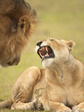 African Lioness (Panthera Leo) Snarling at Male Lion in the Masai Mara Game Reserve, Kenya Photographic Print by Joe McDonald