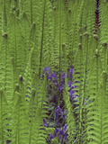 Waterside Foliage, Iris and Ferns, Minterne Gardens, Dorset, England Photographic Print by Phillip Smith