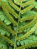 Sori on a Frond of a Southern Wood Fern, Dryopteris Ludoviciana, USA Photographic Print by David Sieren