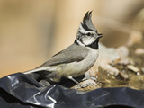 Bridled Titmouse (Baeolophus Wollweberi) Drinking at a Man-Made Pond, USA Photographie par Mary Ann McDonald