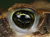 Eye of the Marine Toad or Cane Toad (Bufo Marinus) Photographic Print by Thomas Marent