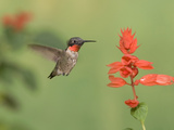 Male Ruby-Throated Hummingbird (Archilochus Colubris) at Salvia Photographic Print by Steve Maslowski
