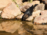 Brown-Headed Cowbird Drinking from a Waterhole (Molothrus Ater), Arizona, USA Photographic Print by Mary Ann McDonald