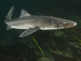Spiny Dogfish (Squalus Acanthias), Canada, Pacific Ocean Photographic Print by Andy Murch