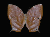 Adult Stage of the Butterfly (Memphis Proserpina) Photographic Print by Jeffrey Miller