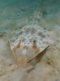 Atlantic Guitarfish (Rhinobatos Lentiginosus), Panama City, Florida, USA, Gulf of Mexico Photographic Print by Andy Murch
