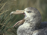 Giant Petrel Head Showing its Bill and Tongue, Macronectes Giganteus, Hercules Bay, South Georgia Reproduction photographique par Fritz Polking