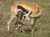 Thomson's Gazelle (Eudorcas Thomsonii) with a Newborn, Masai Mara, Kenya Photographic Print by Mary Ann McDonald