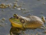 American Bullfrog (Rana Catesbeiana) Photographic Print by Robert Servranckx