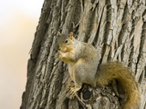 Eastern Fox Squirrel (Sciurus Niger), USA Photographic Print by Neal Mischler