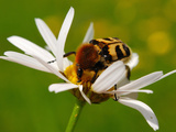 Bee Beetle (Trichus Fasciatus) on a Corn Camomile Flower (Anthemis Arvensis), Estonia Photographic Print by Heiti Paves