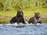 Brown Bear Cubs (Ursus Arctos) Fishing for Salmon in a River, Katmai National Park, Alaska, USA Photographic Print by Joe McDonald