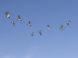 Flock of Canada Geese (Branta Canadensis), Montana, USA Photographic Print by Neal Mischler